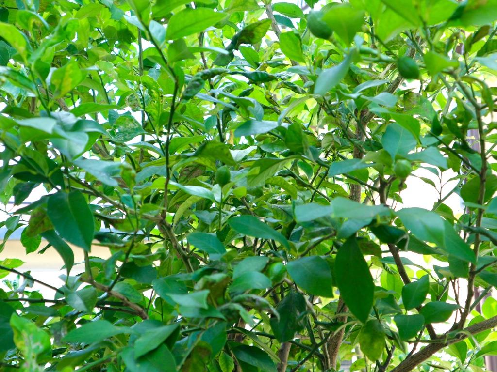レモンの木の実